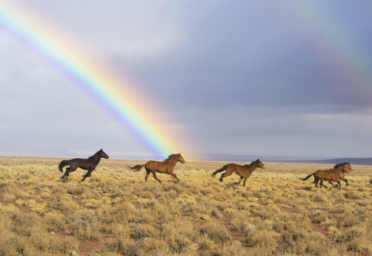 Rainbow Over Prairie  With Wild Horses Running Free