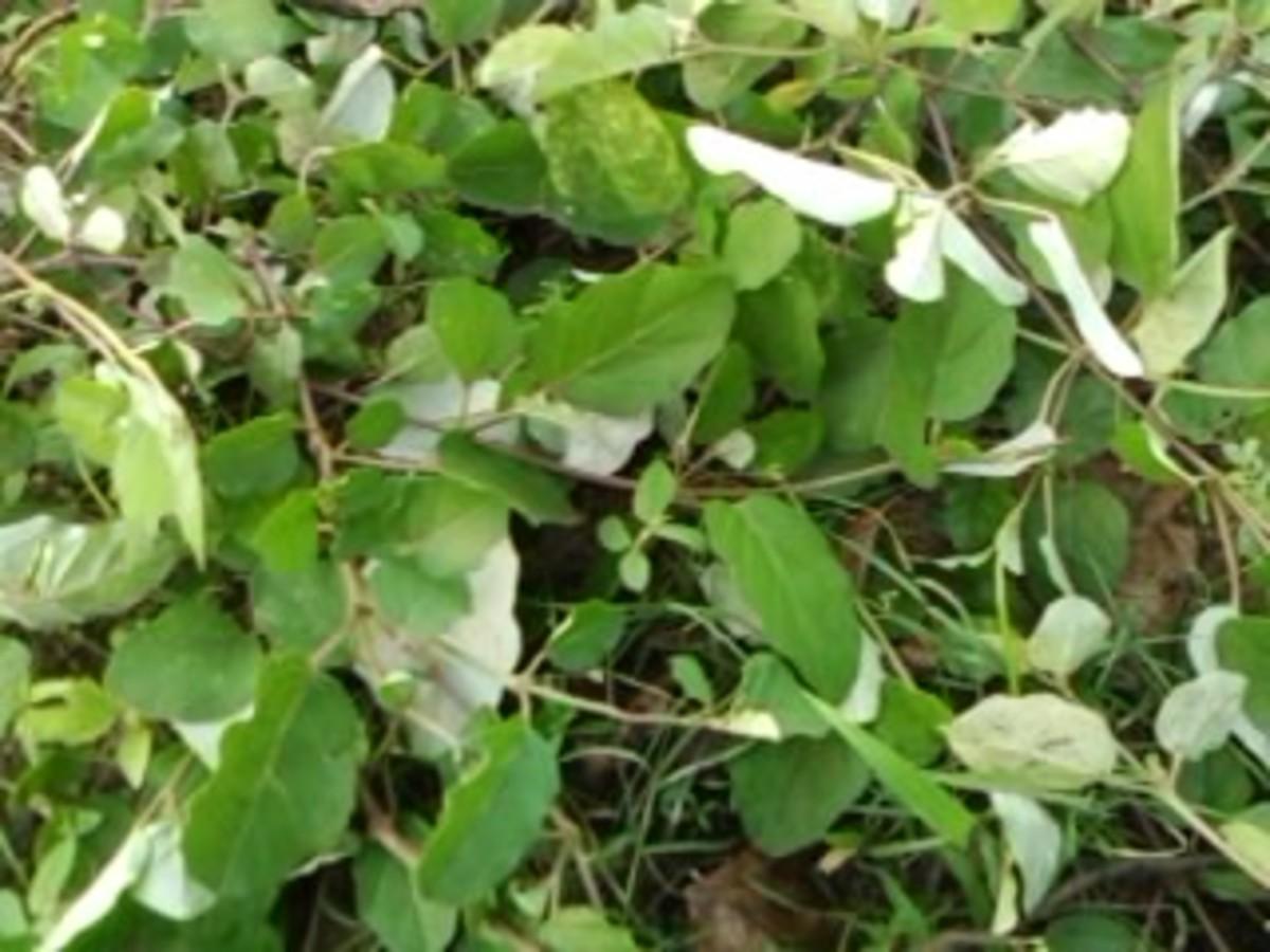 Herbal remedies; herb Punarnava for diabetese and kidney disease
