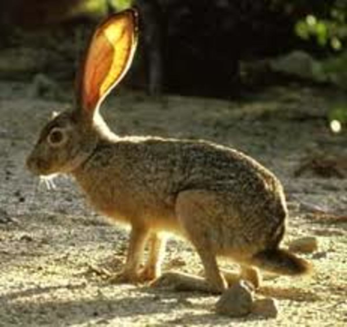 Texas Jack Rabbit. Not the Easter Bunny, but part of the legend!