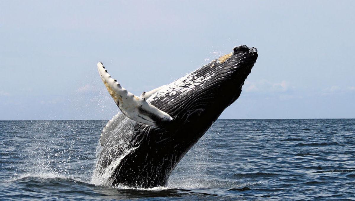 A Humpback breaching
