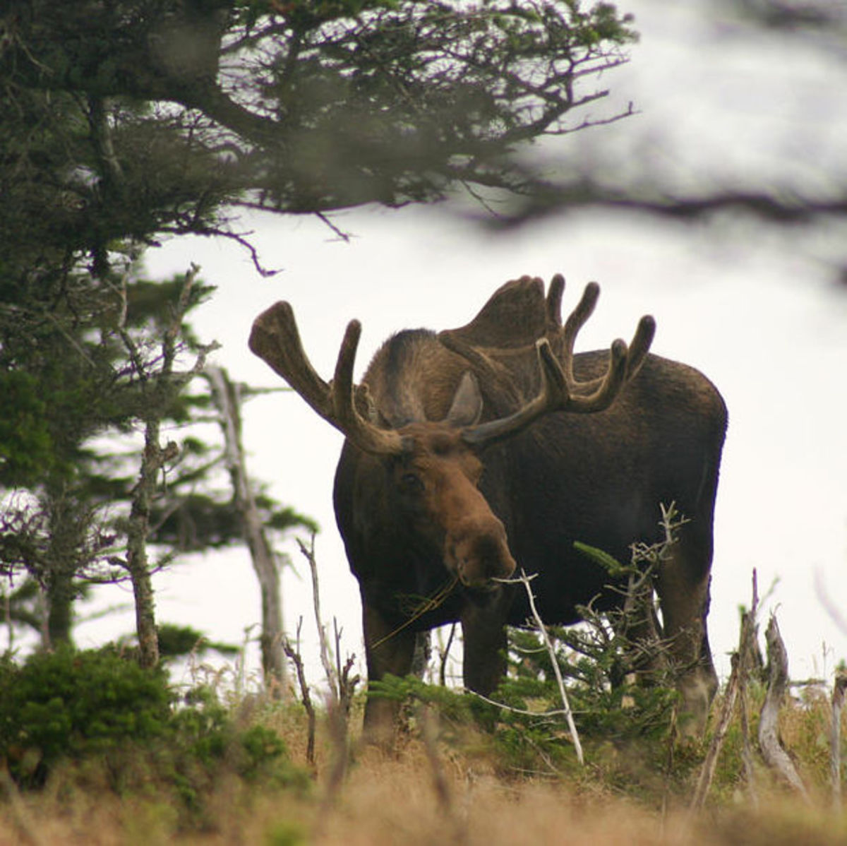 An Eastern Moose