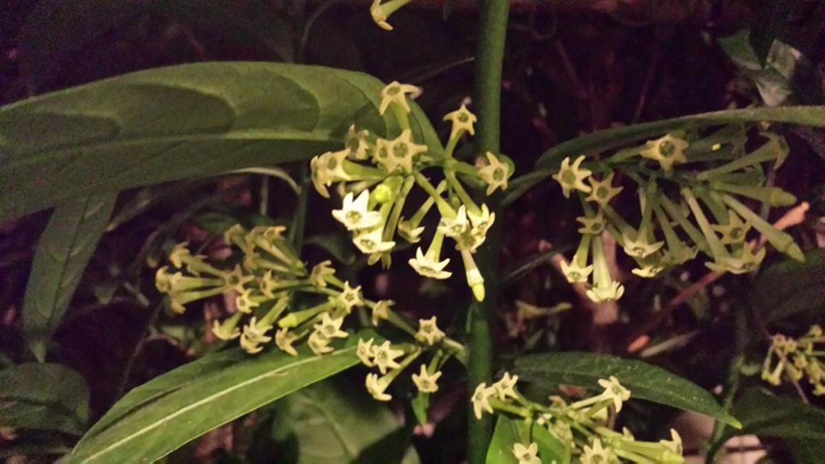 The strange plant the datu had taken care of prospered into a shrub and developed flowers with sweet fragrance that can only be smelled at night.