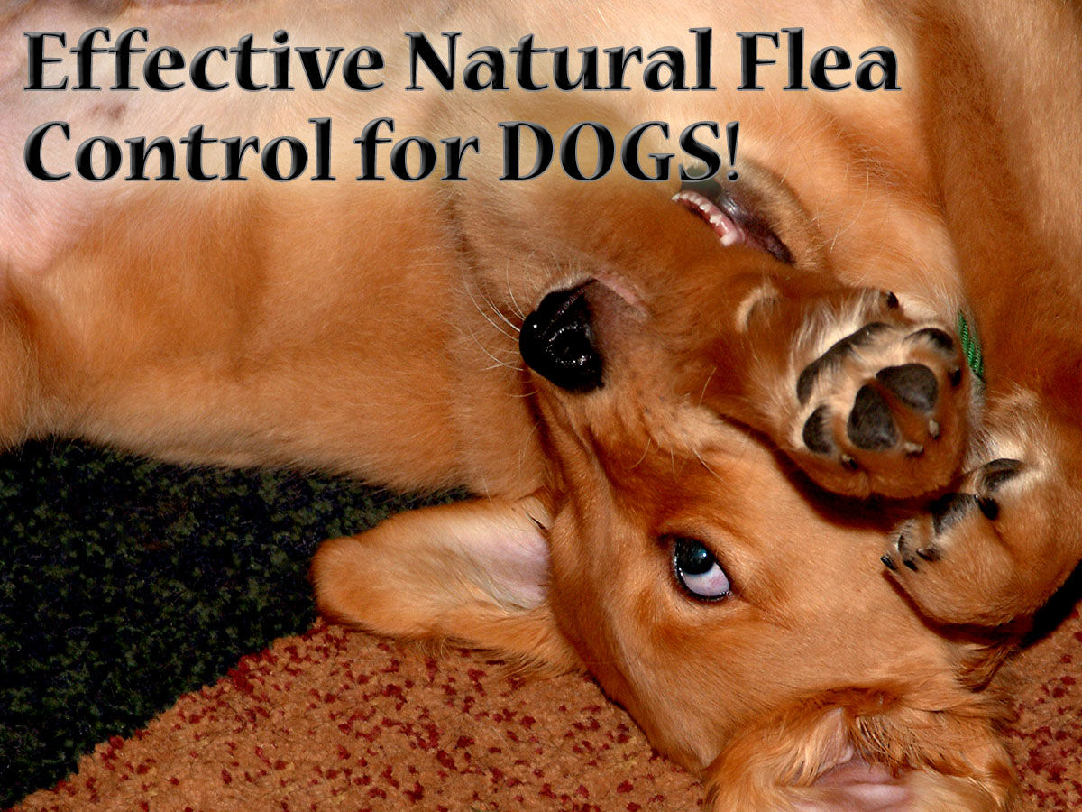 Don't let fleas make your dog miserable! Use natural flea control to keep him flea free and healthy!