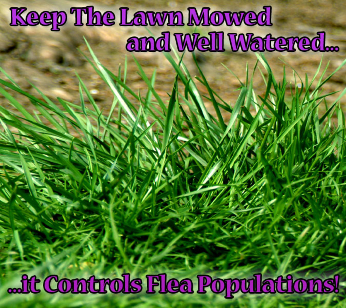 A tailored short lawn lets the rays from the sun heat and kill flea larvae laid in the grass!