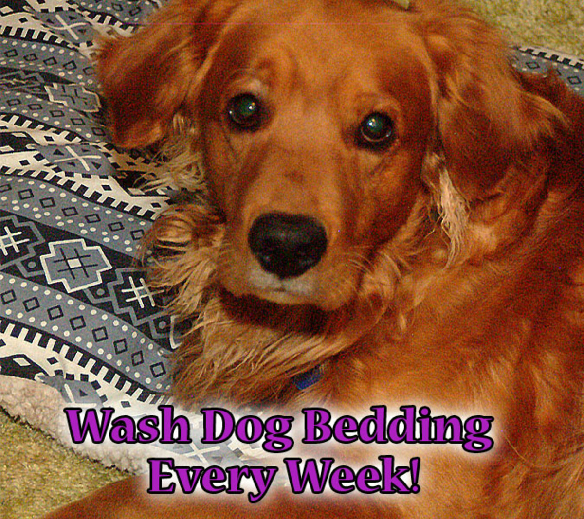 Wash you dogs bedding at least once a week to reduce flea reproduction by interrupting the life cycle.