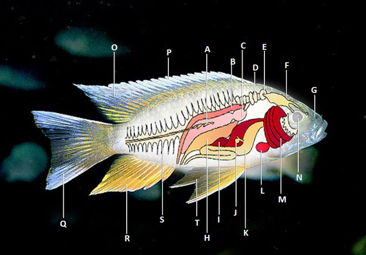 Ray Finned Fish