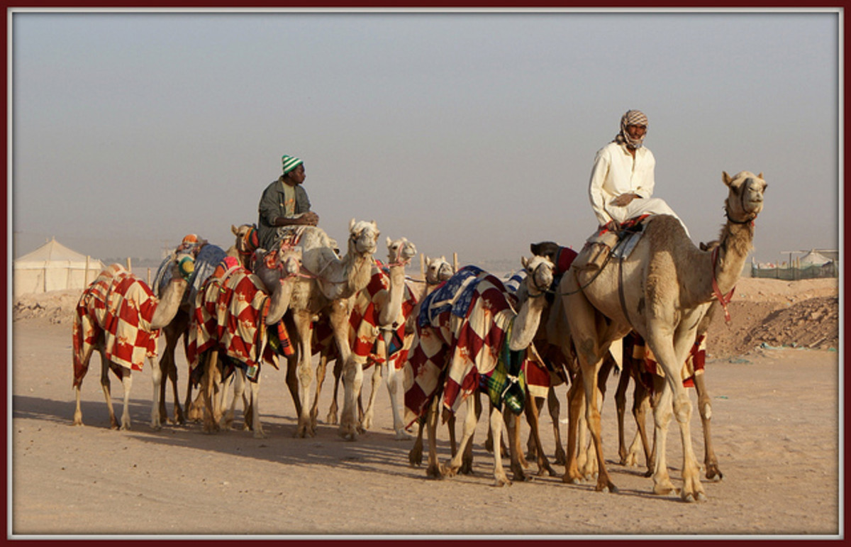 Camels off to the races.