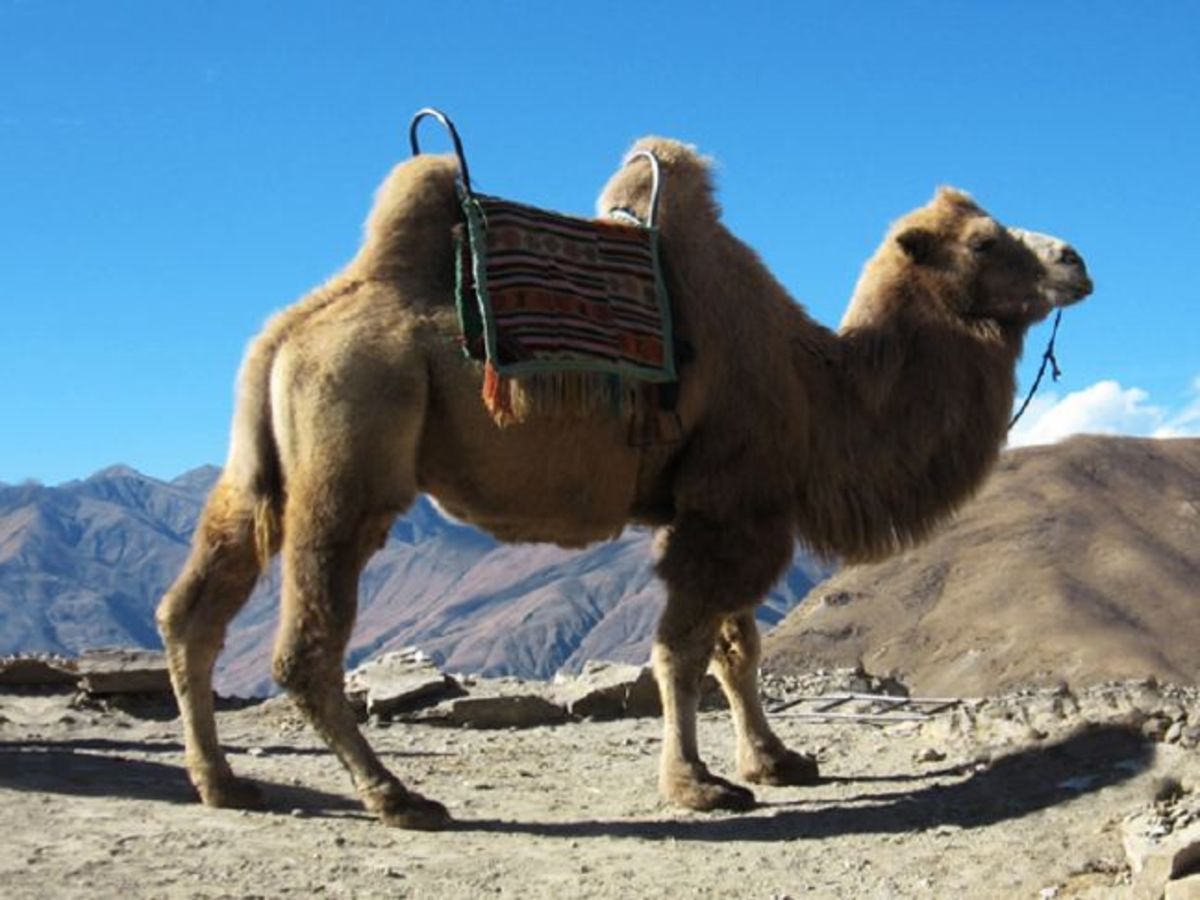 meet-clyde-and-claudia-two-very-different-camels