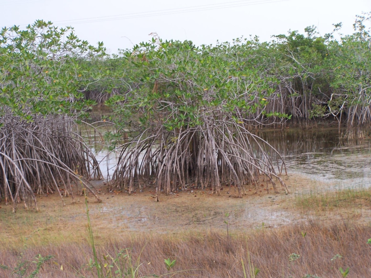 root system of the Mangrove