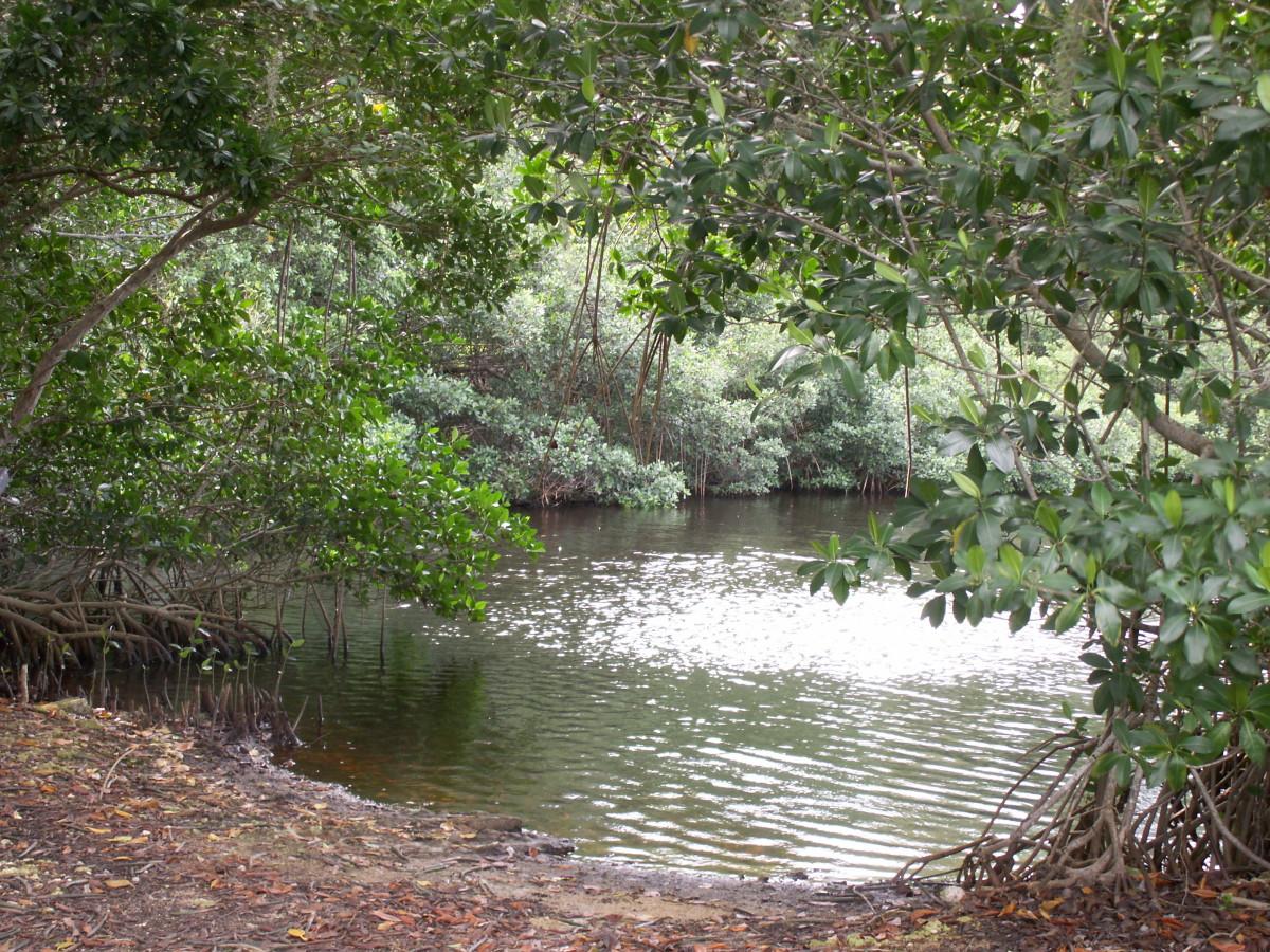 Mangrove trees bordering a tidal estuary in Everglades National Park
