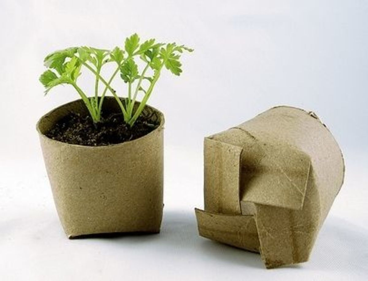 starting seedlings in toilet paper rolls