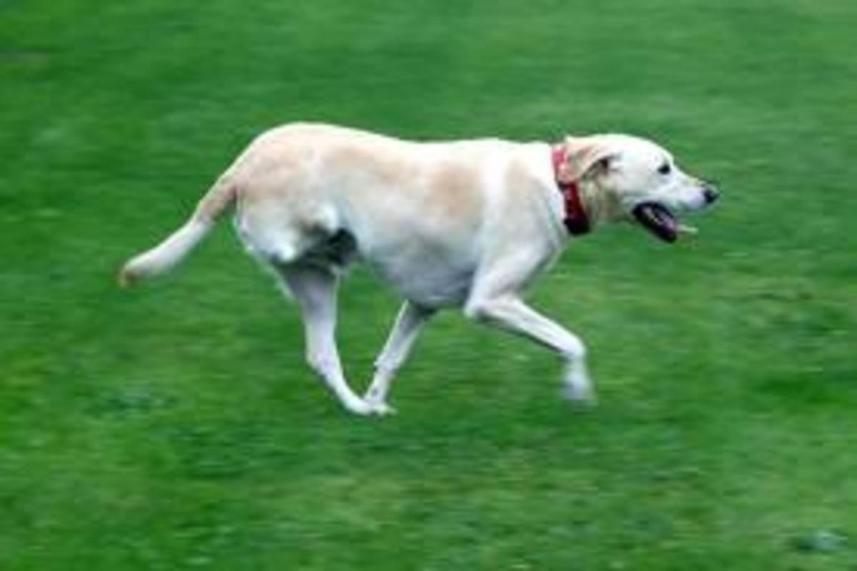 Legged Dog Or  Lab
