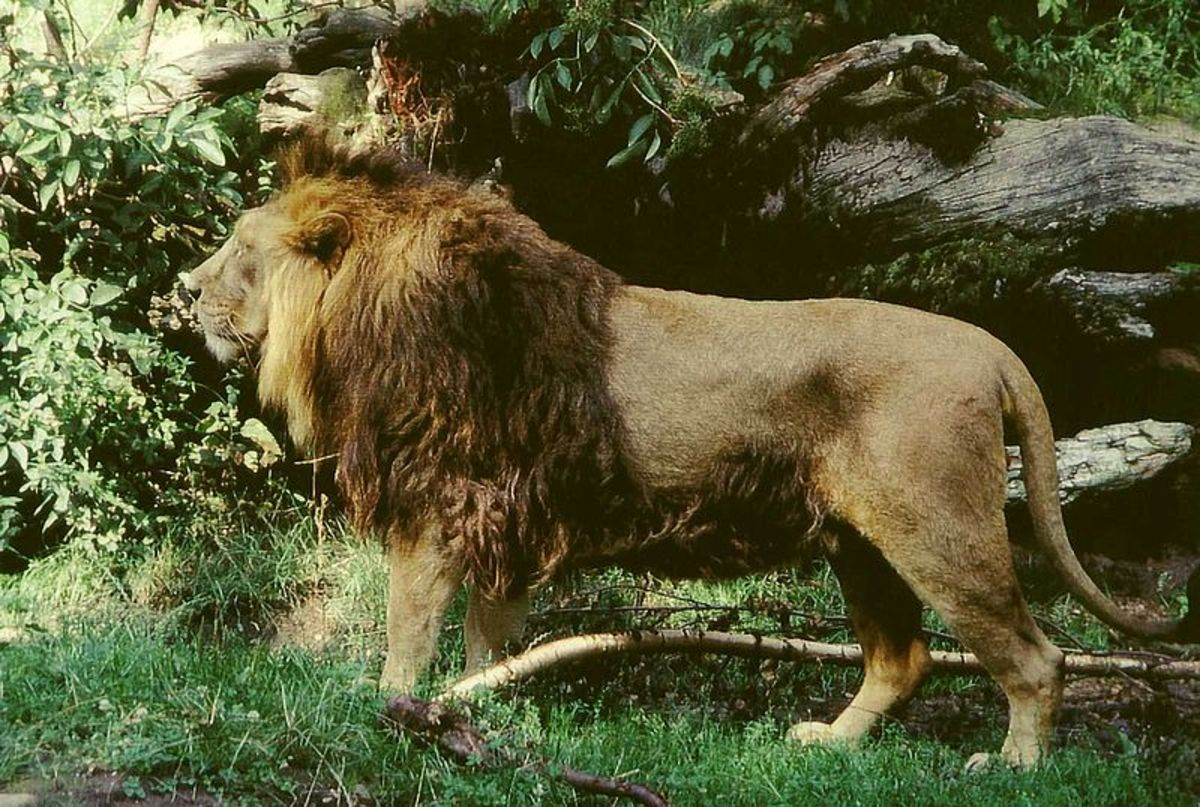 The male Asiatic lion is slightly smaller than its African cousin. It's also generally shaggier, but possesses a much smaller mane.