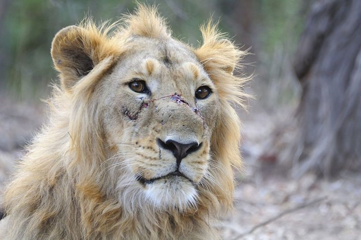 Believe it or not, this is a full grown male lion.