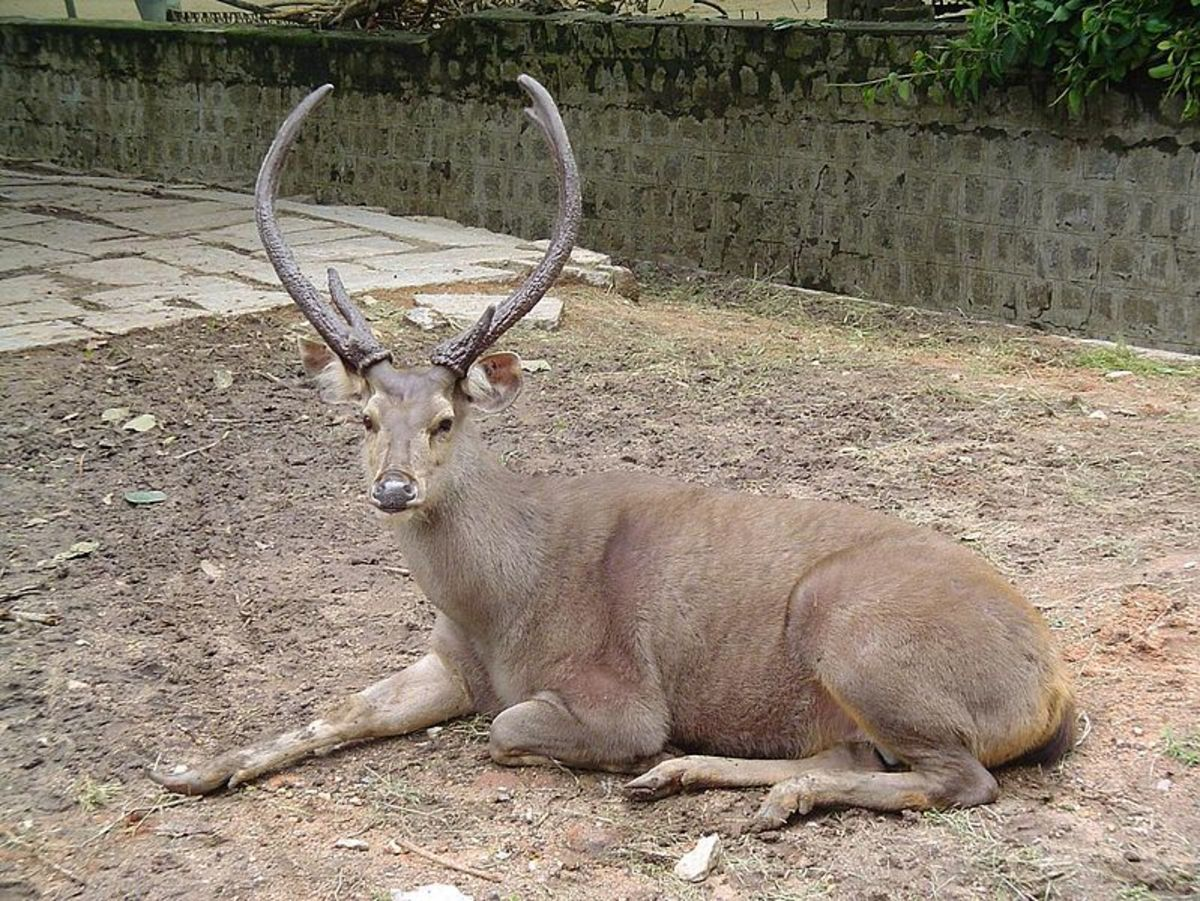 A Sambar deer stag. These deer are also a top prey item of India's other symbolic cat, the tiger.