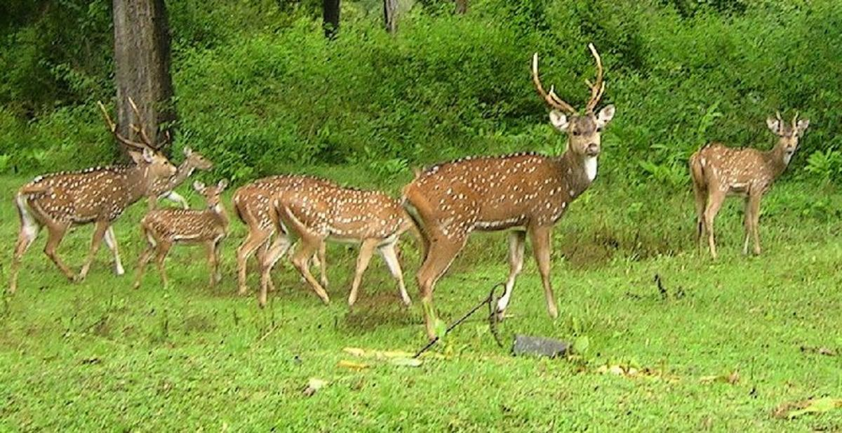 A herd of chital deer, the primary prey of the lions of Gir.