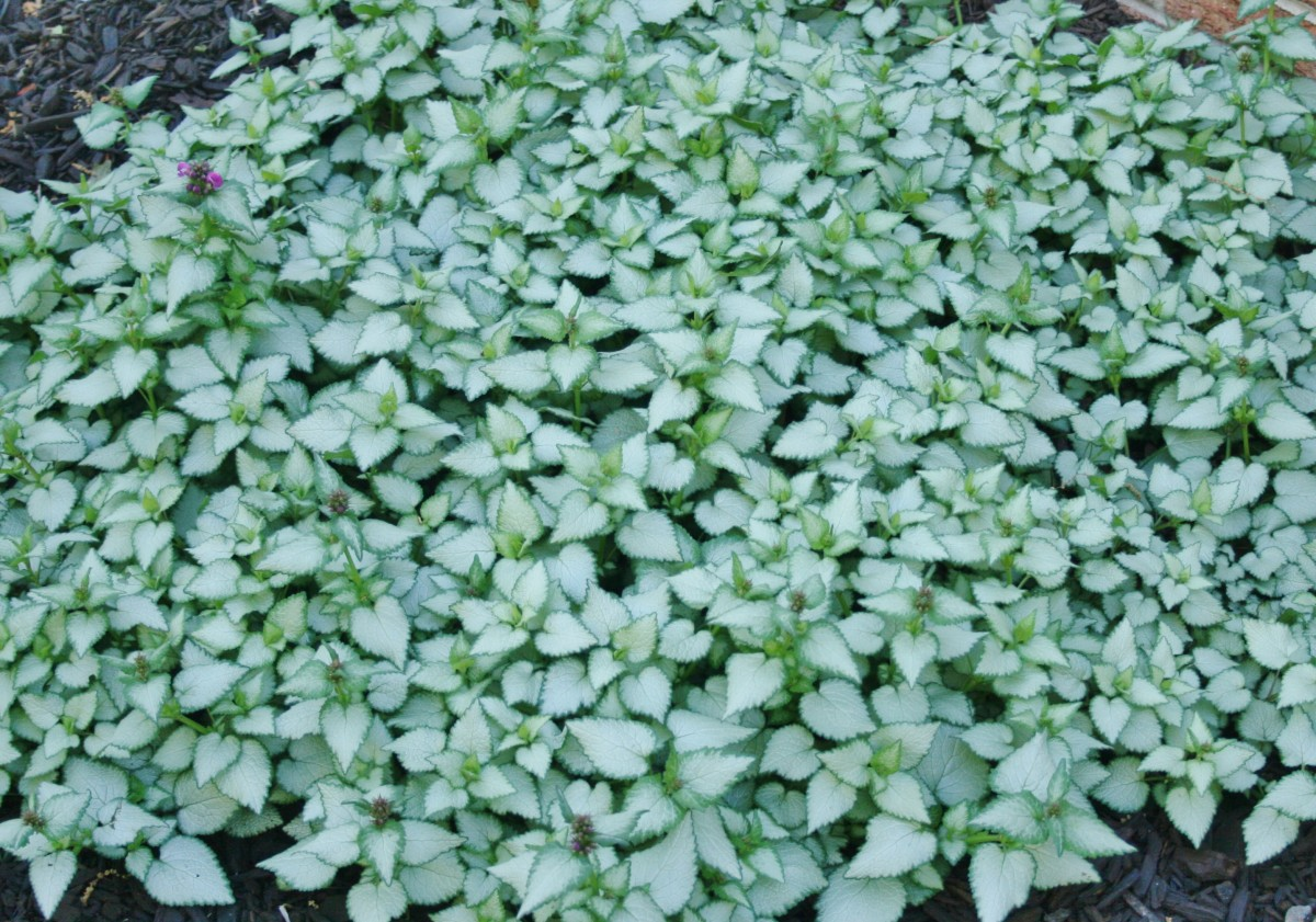 """This large spread of dead nettle was started two years ago from a 4"""" potted plant."""