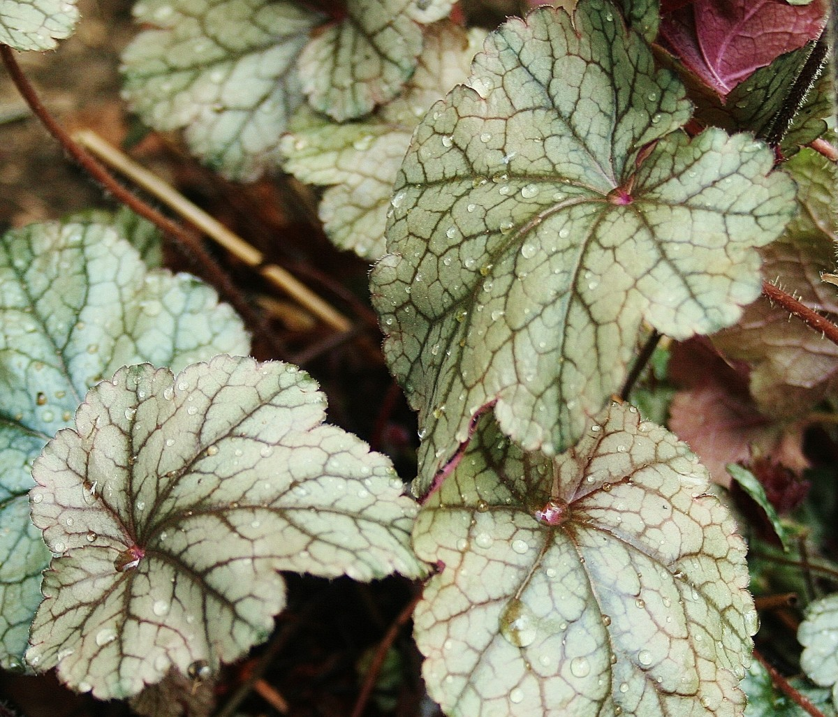 'Cinnabar Silver' has silver leaves with maroon and green veins.