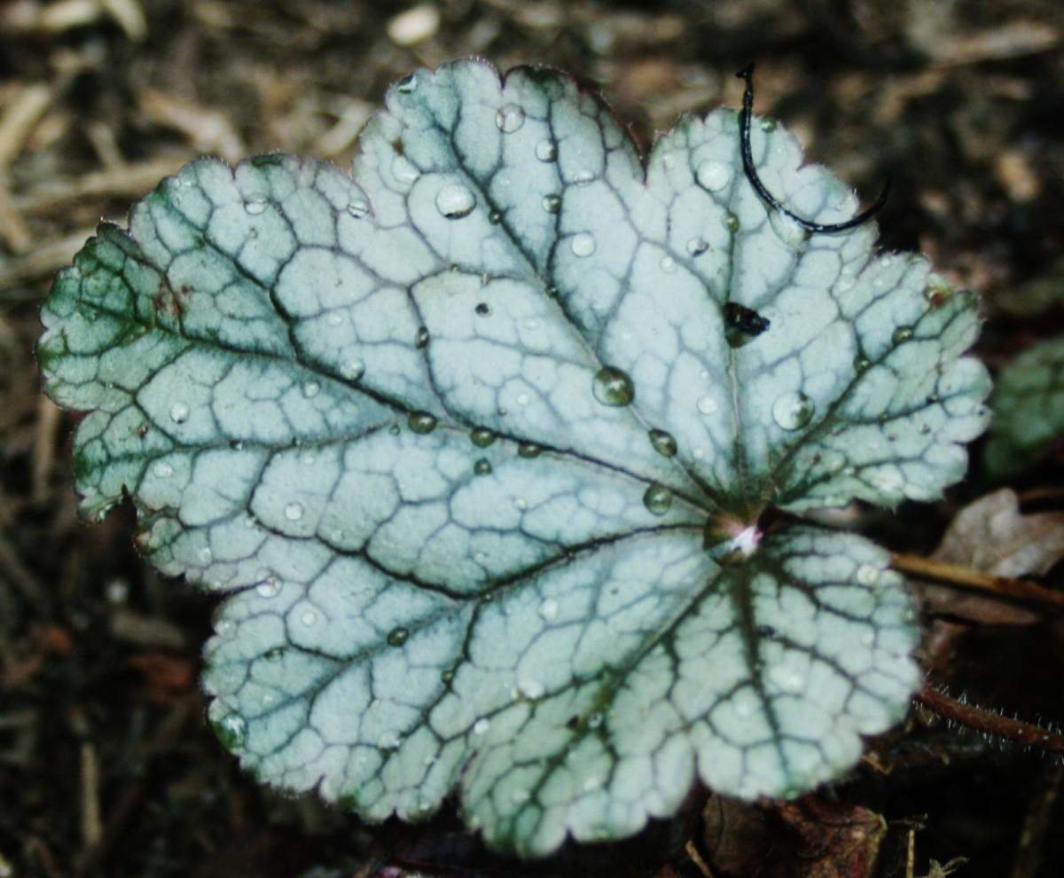 Some heuchera hybrids grow well in dry shade.
