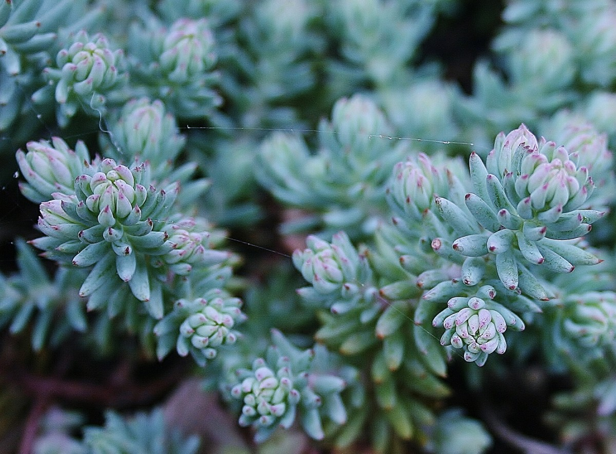 'Blue Spruce' sedum is a drought-resistant perennial ground cover that thrives in poor soil.