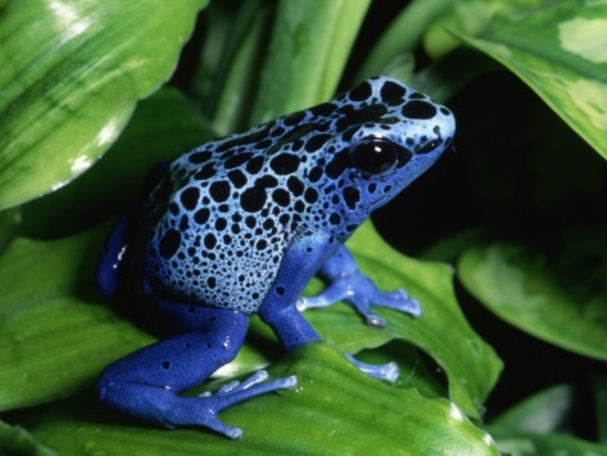 The azureus poison dart frog