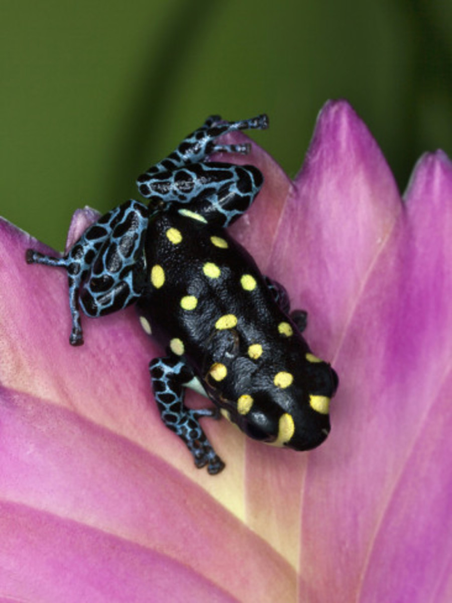 Some Fascinating Poison Dart Frog Facts