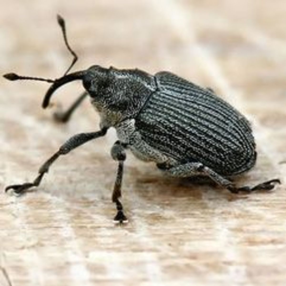 Biological control of the cabbage seedpod weevil