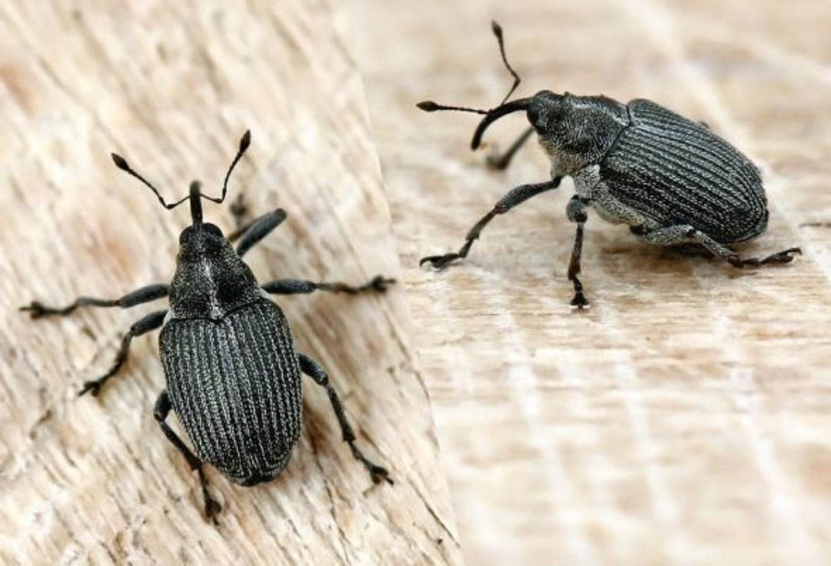 Cabbage seed weevil