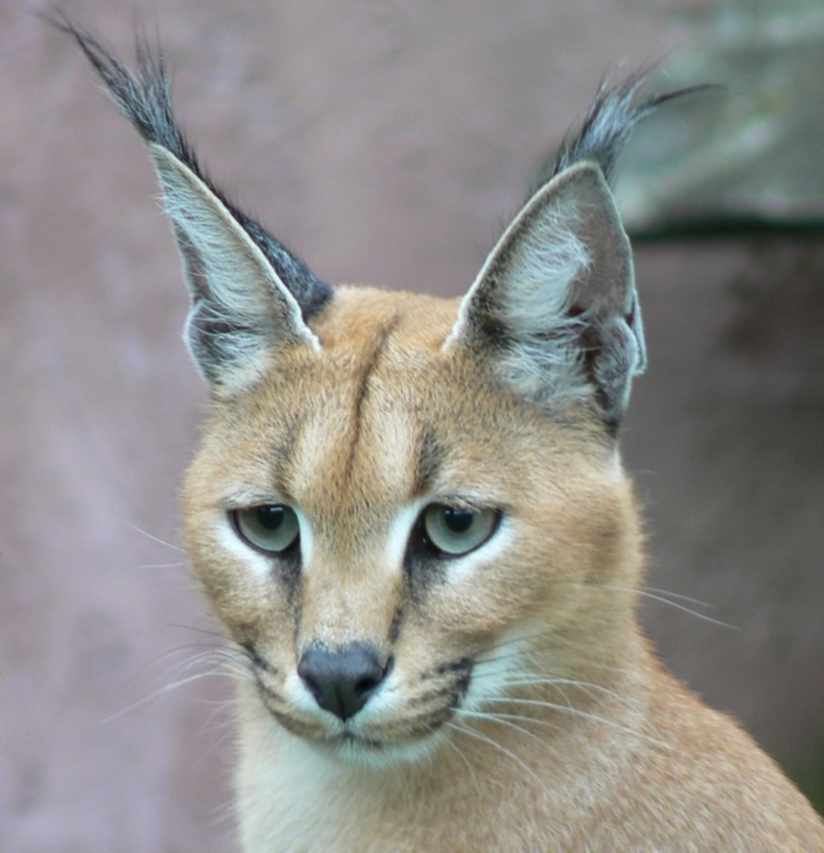 Notice the pointed heat and black tufted ears.
