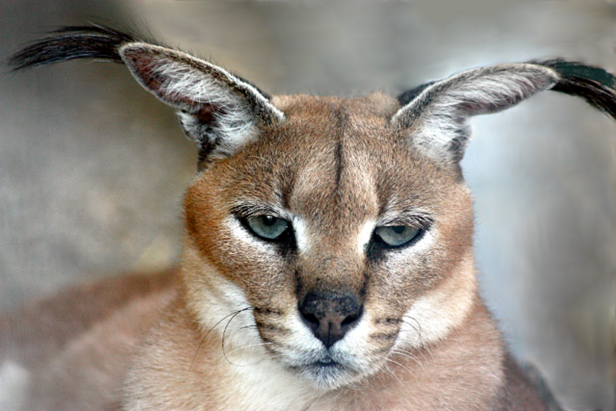 The Caracal - An Elusive Wild Cat