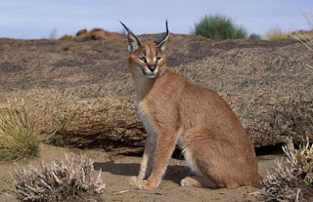 the-caracal-an-elusive-wild-cat
