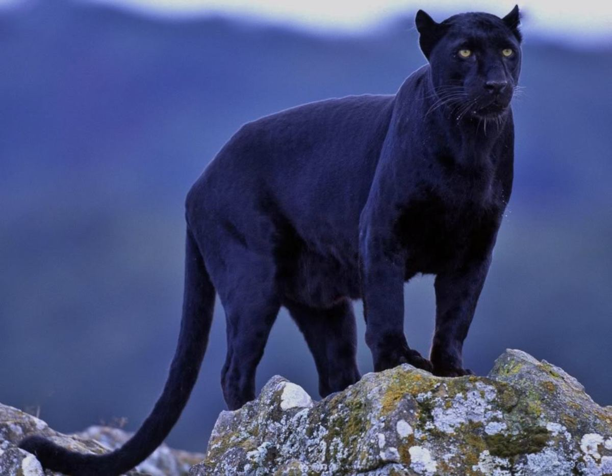 Various breeding big cats now seen in the British countryside.