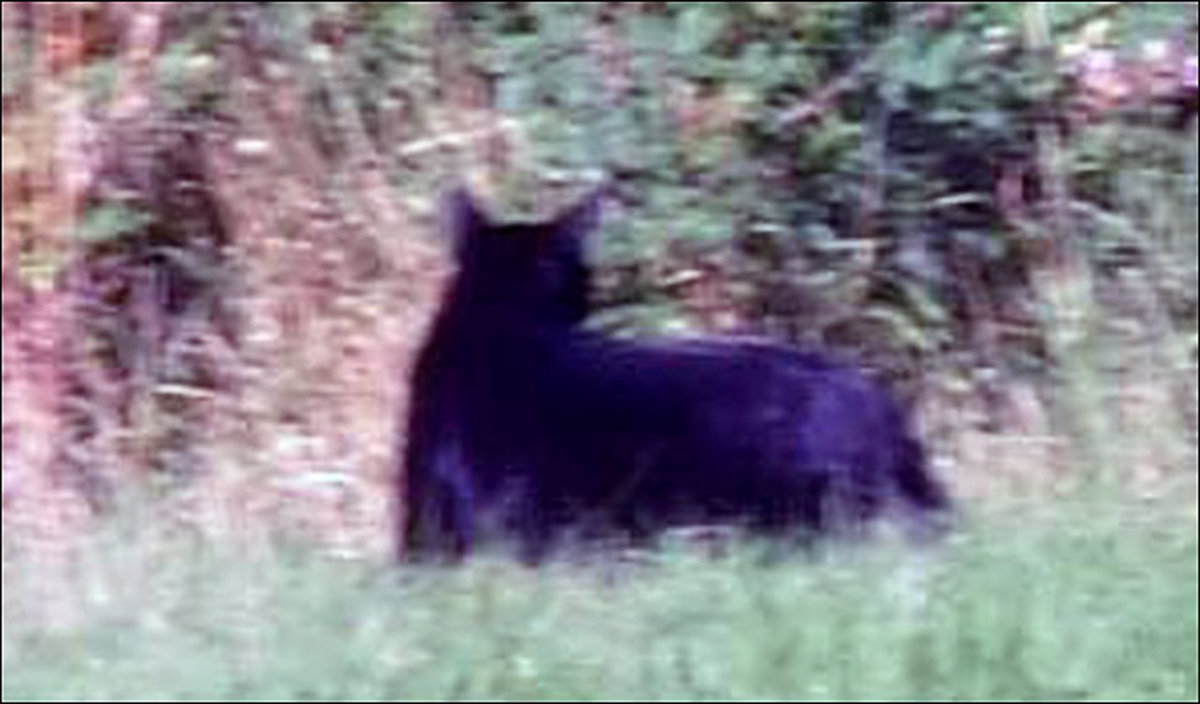 Big cat sighting - possibly a Panther