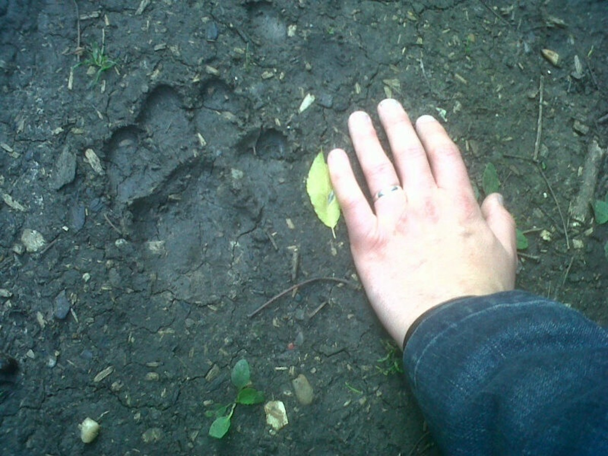 Paw print of a panther compared with a human hand