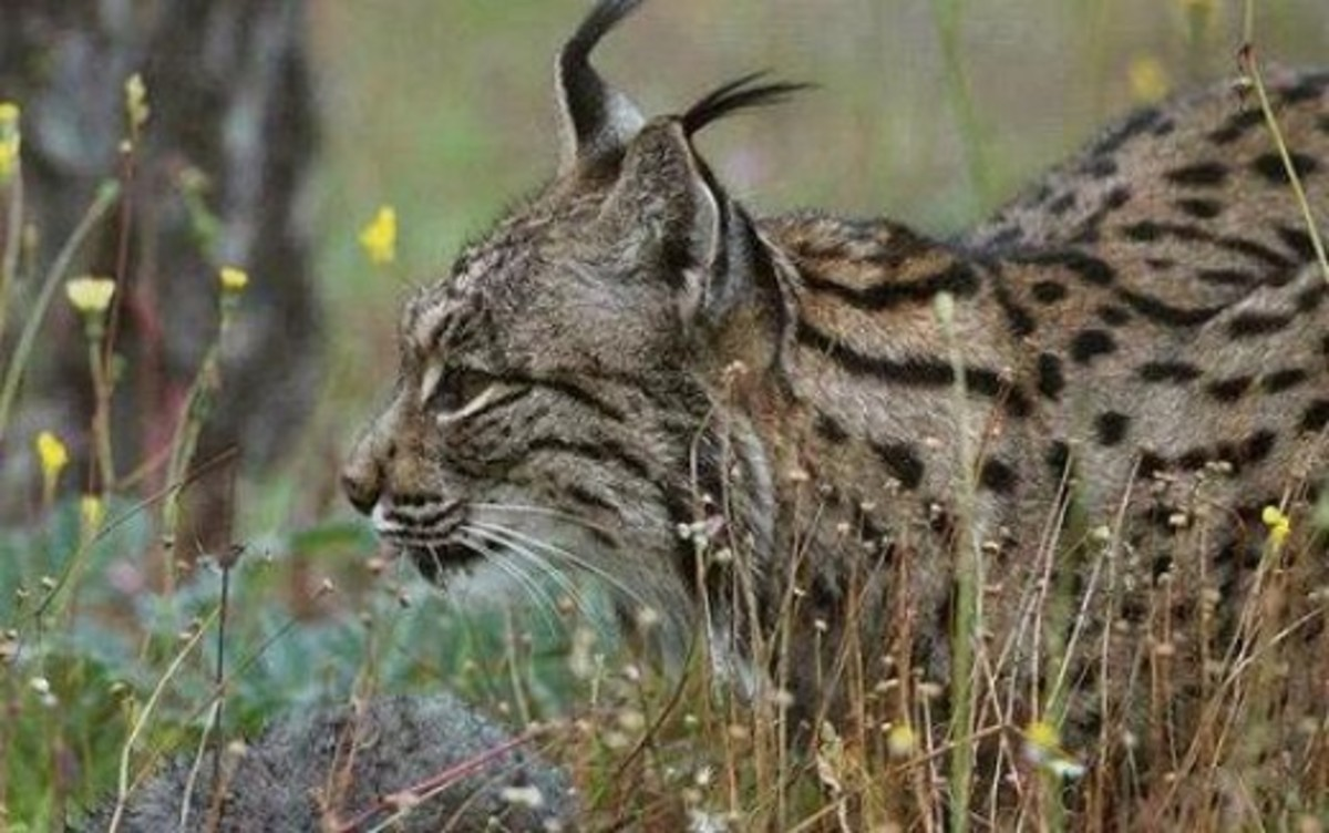 Lynx or Scottish Wildcat - mainly found in Scottish highlands