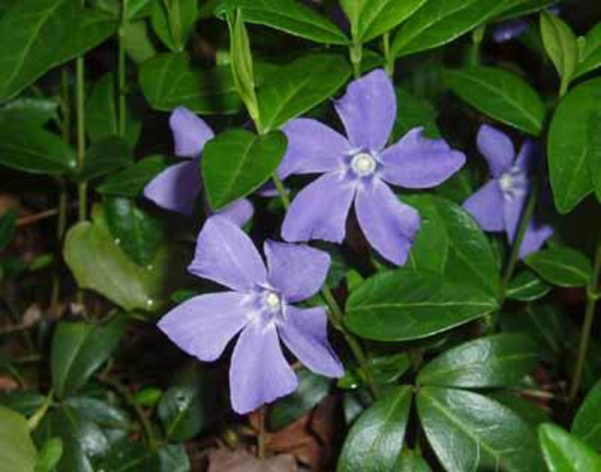 How to Grow Periwinkle or Vinca Plants