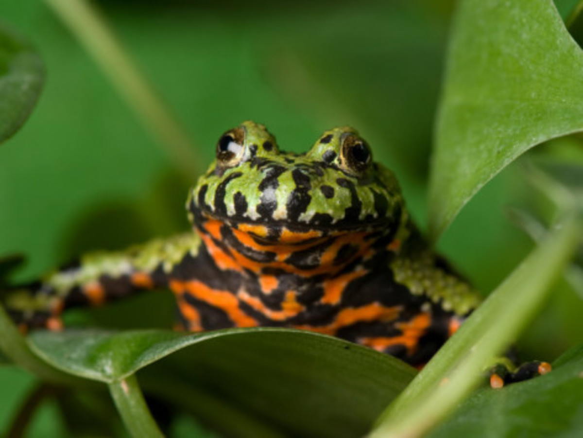 Fire bellied toads get their name from their striking orange and black bellies