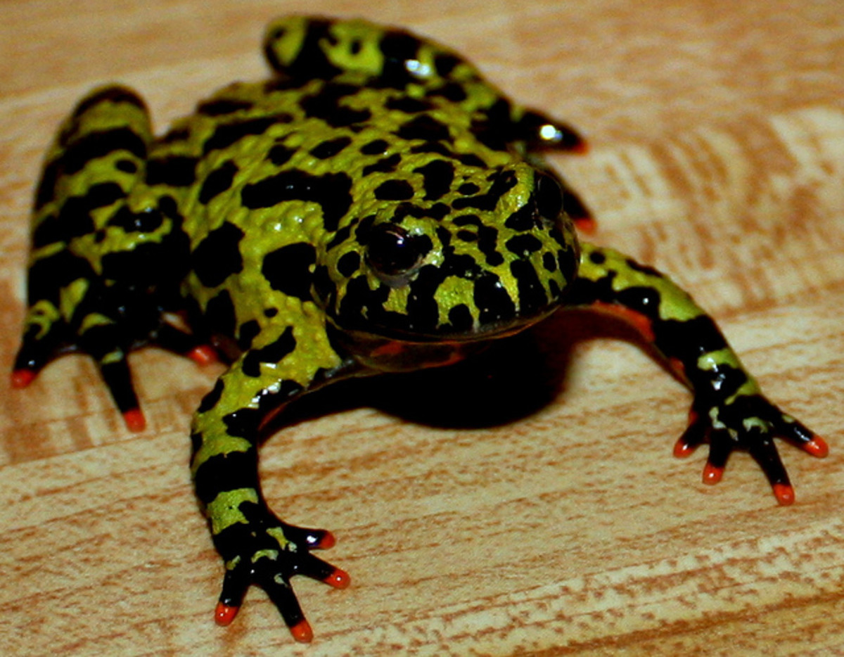 The fire bellied frog dorsum is moss green with black spots, notice the red finger tips.
