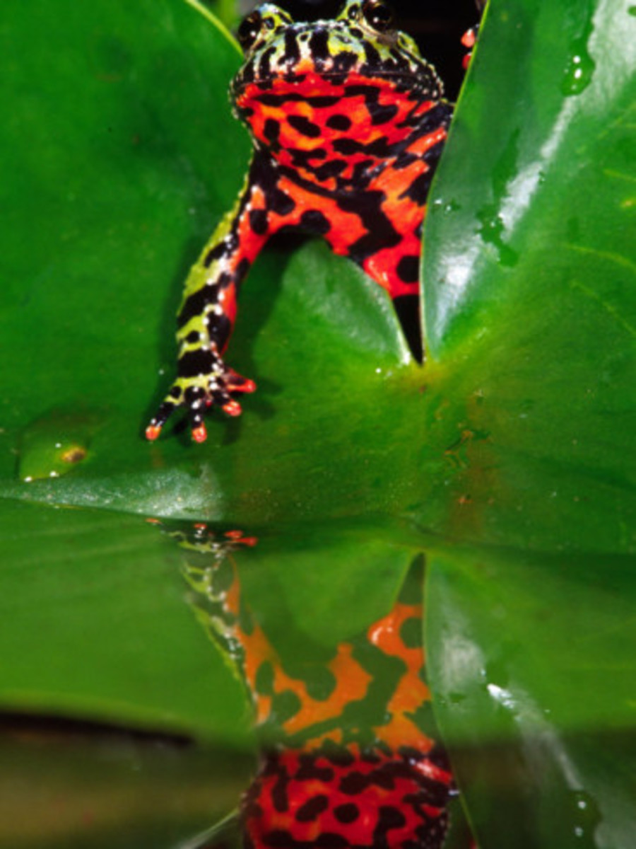 fire-bellied-toad