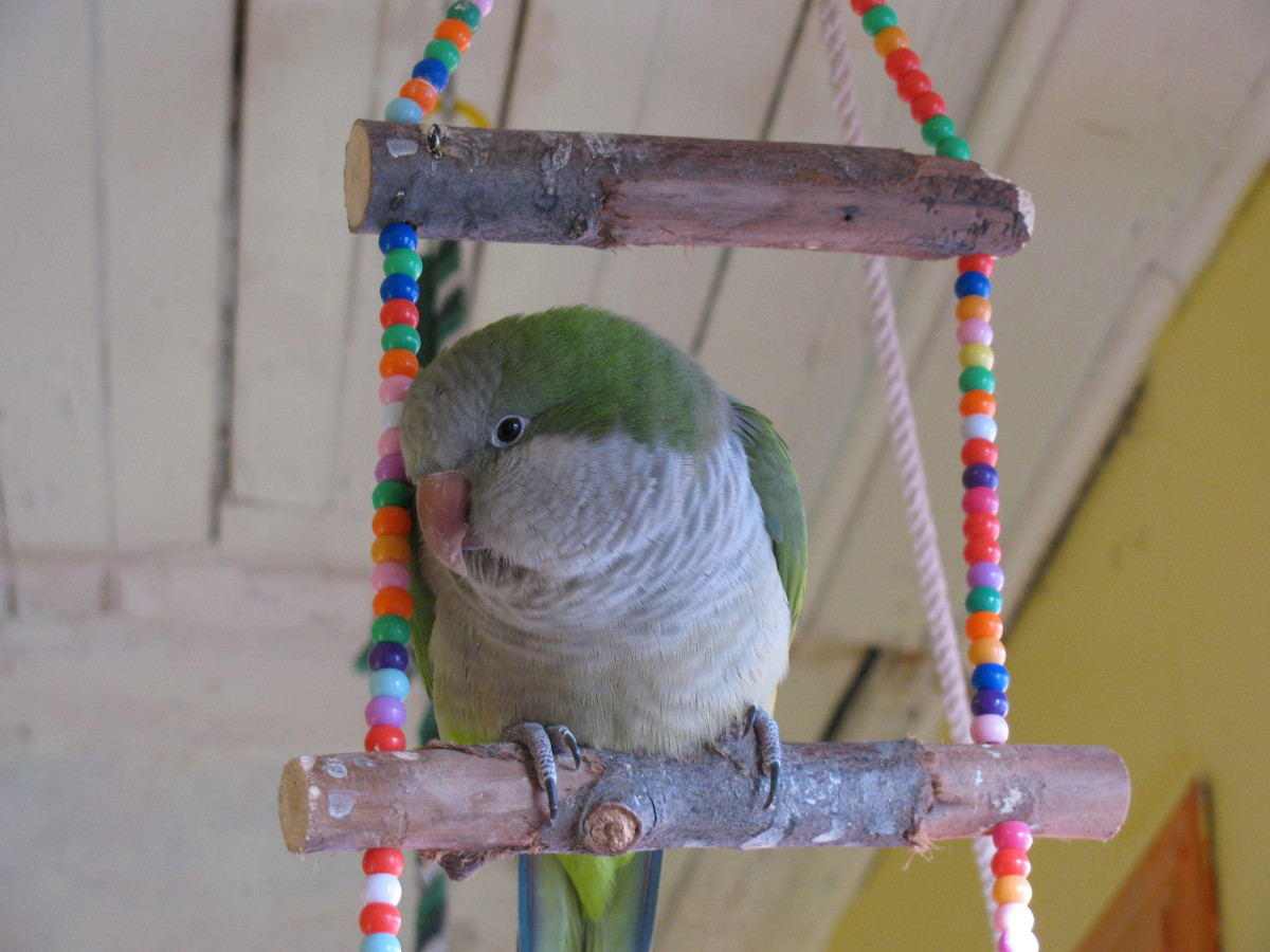 Quaker Parrots as Pets - Facts You Should Know
