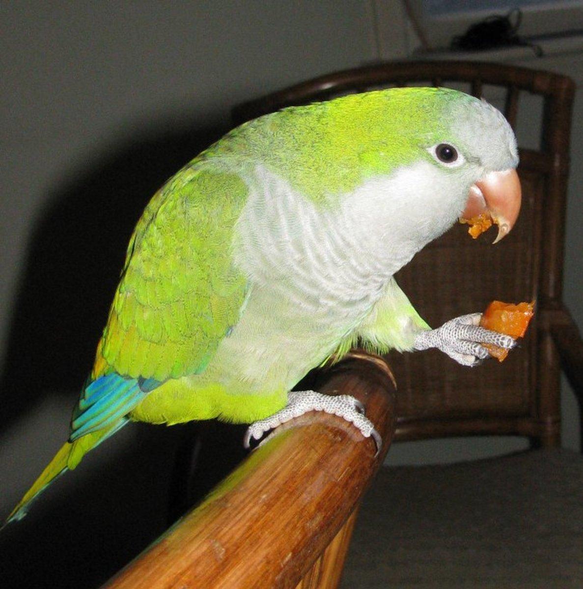 Ernie enjoying a carrot.