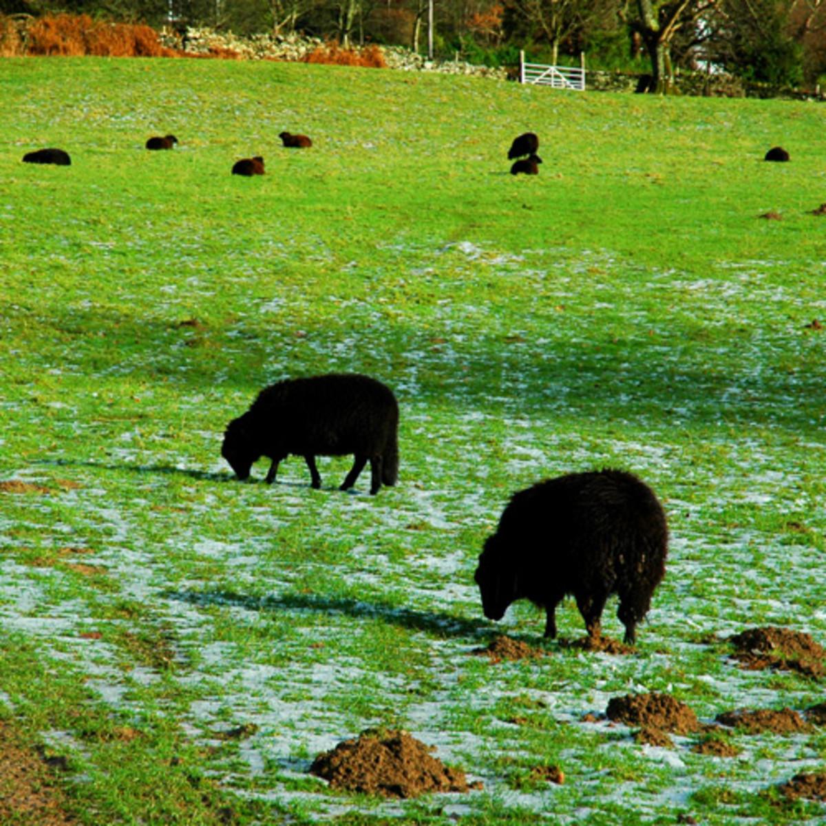Black Sacrificial Sheep
