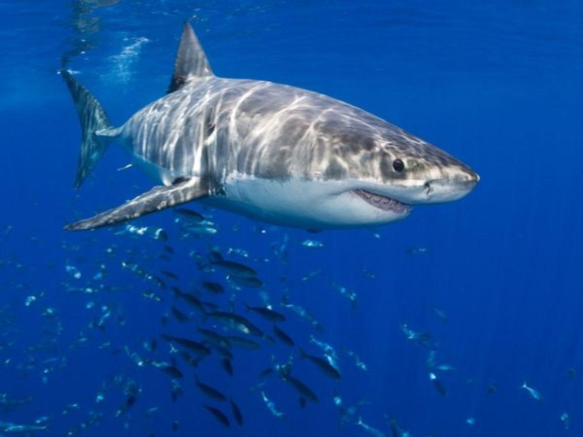 Top 3 Most Dangerous Sharks
