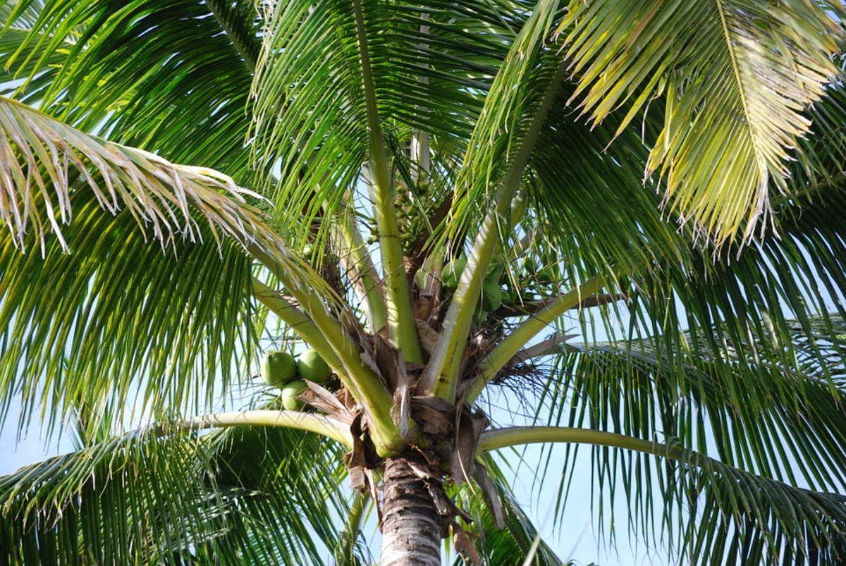 Can you think of at least 10 uses of the coconut tree?