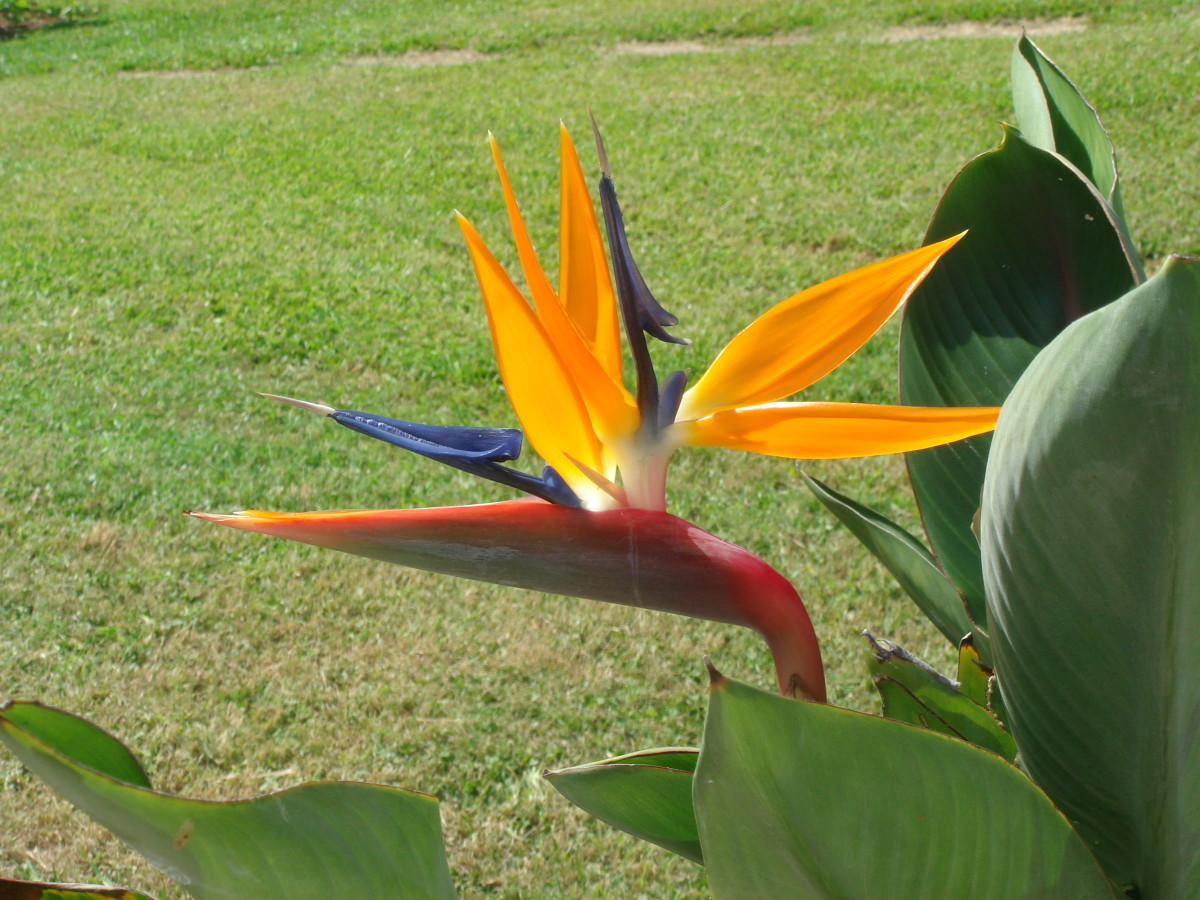 basic-care-for-birds-of-paradise-how-to-grow-exotic-flowers-and-tropical-plants
