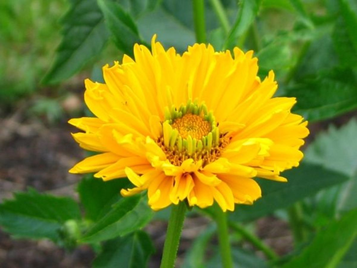 The oxeye sunflower (Heliopsis helianthoides) is native to N.A. and thrives in plant growing zones 3 to 9.  Size depends upon amounts of sun and richness of soil; height may 3 to 6 feet and spread 2 to 4 feet.  These miniature sunflowers bloom from J