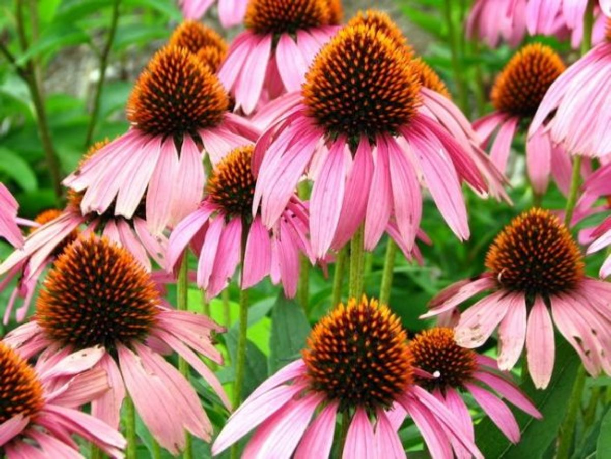 The purple coneflower (Echinacea purpurea) is also native to eastern N.A. and grows well in plant hardiness zones 3 to 8. They range in height from 2 to 5 feet and spread 1.5 to 2 feet.  Bloom time is from June to August with petal colors ranging fro