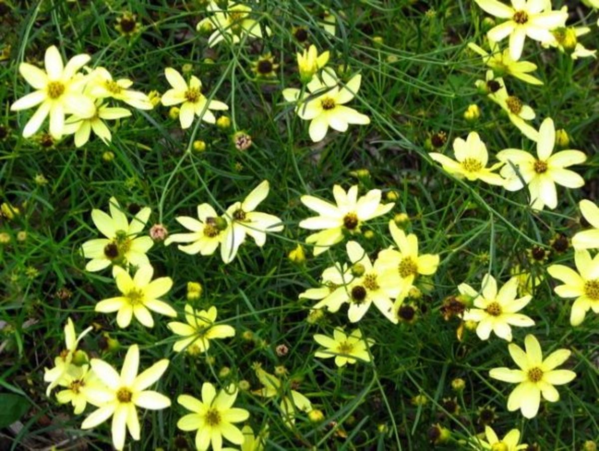 Thread-leaf coreopsis (Coreopsis vertilcillata) is a N.A. native that grows well in plant hardiness zones 3 to 9. They grow to 2.5 to 3 feet high and spread 1.5 to 2 feet.  These coreopsis are nonstop bloomers and produce yellow daisy-like flowers fr