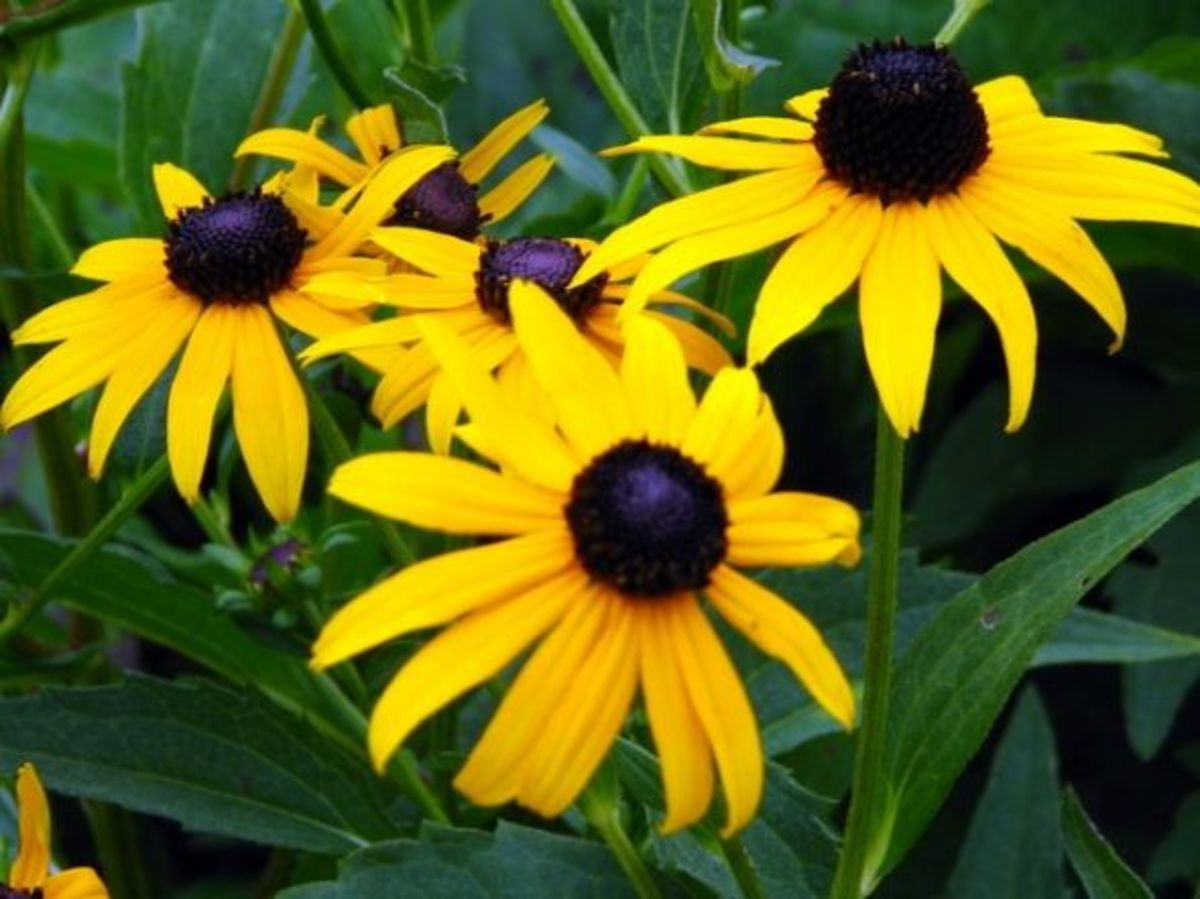Most everyone recognizes black-eyed Susan daisies that belong to the aster plant family.  They grow well in plant hardiness zones 3 to 9 to heights of 2 to 3 feet and spread 1 to 2 feet.  Black-eyed Susans bloom from June to September with yellow ray