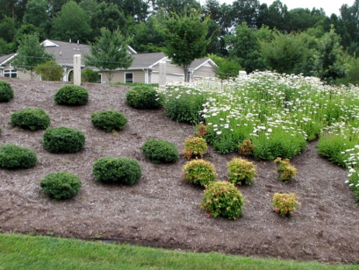 Section #2 contains Soft Touch hollies, Fire Power Heavenly Bamboos (Nandina), and Shasta daisies.